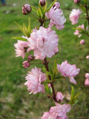 Prunus glandulosa 'Rosea'-#3 Container<br />Pink Flowering Almond