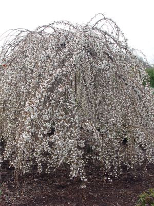 Prunus X 'Snow Fountain'-#7 Container<br />Snow Fountain Weeping Cherry