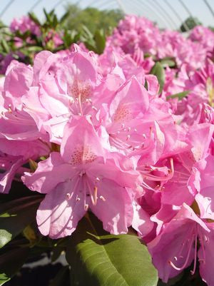 Rhododendron catawbiense 'English Roseum'-#3 Container<br />English Roseum Rhododendron