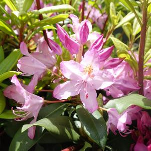 Rhododendron maximum 'Independence' - 2 Gal.