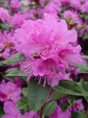 Rhododendron X 'Pjm Elite'-#10 Container<br />PJM Elite Rhododendron