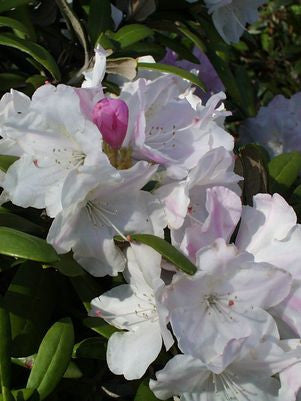 Rhododendron catawbiense 'Cunninghams White'-#10 Container<br />Cunningham White Rhododendron