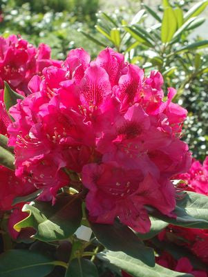 Rhododendron catawbiense 'Nova Zembla'-#2 Container<br />Nova Zembla Rhododendron
