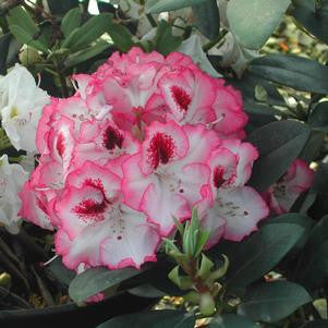 Rhododendron 'Cherry Cheesecake'-#2 Container<br />Cherry Cheesecake