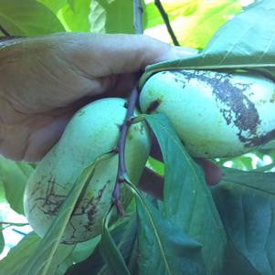 Asimina triloba-#7 Container<br />Pawpaw