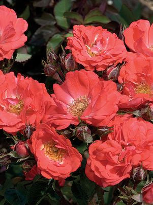 Rosa 'Drift Coral'-#2 Container<br />Drift Coral Rose