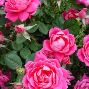 Rosa 'Double Pink Knockout'-#3 Container<br />Double Pink Knockout Rose