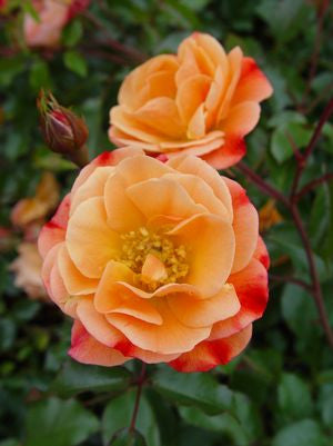 Rosa Flower Carpet 'Amber'-8`` Container<br />Amber Flower Carpet Rose