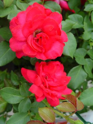 Rosa Garden Art 'Super Hero'-#2 Container<br />Super Hero Rose