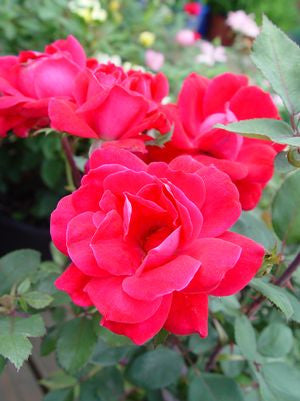 Rosa Knockout-#3 Container<br />Knockout Rose