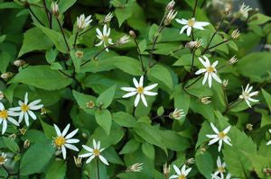 Aster divaricatus-#1 Container<br />Woodland Aster