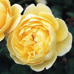 Rosa 'Charlotte' -#3 Container<br />Charlotte&#8482;? English Rose