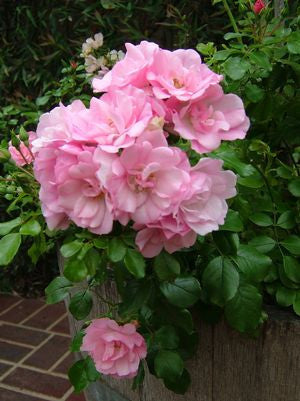 Rosa Flower Carpet 'Apple Blossom'-8`` Container<br />Apple Blossom Flower Carpet Rose