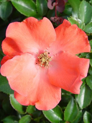 Rosa Flower Carpet 'Coral' - 8 In.