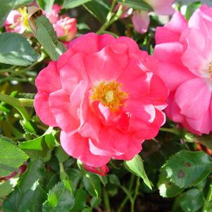 Rosa Flower Carpet 'Pink'-8`` Container<br />Pink Flower Carpet Rose
