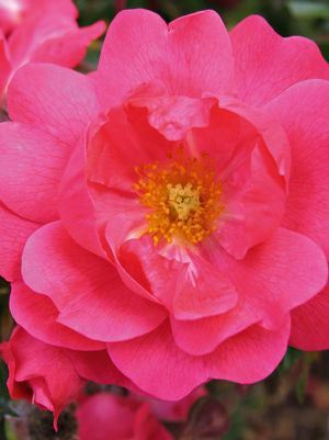 Rosa Flower Carpet 'Pink Supreme'-8`` Container<br />Pink Supreme Flower Carpet Rose