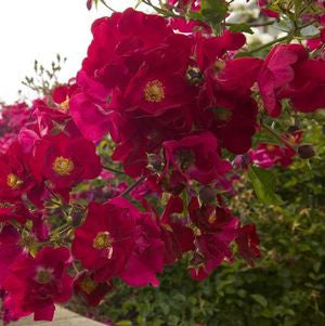 Rosa Flower Carpet  'Red'-8`` Container<br />Red Flower Carpet Rose