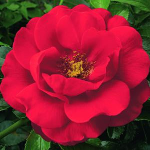 Rosa Flower Carpet 'Scarlet'-8`` Container<br />Scarlet Flower Carpet Rose