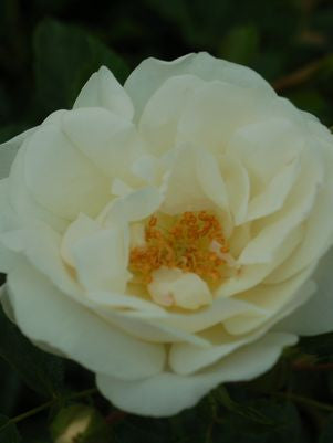 Rosa Flower Carpet  'White'-8`` Container<br />White Flower Carpet Rose