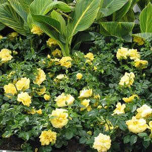 Rosa Flower Carpet 'Yellow'-8`` Container<br />Yellow Flower Carpet Rose