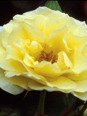 Rosa 'Yellow Submarin'E-#2 Container<br />Yellow Submarine Rose