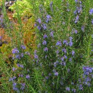 Rosmarinus officinalis 'Tuscan Blue'-#1 Container<br />Tuscan Blue Rosemary