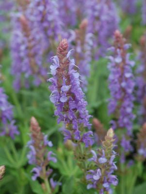 Salvia sylvestris 'Blue Hill'-#2 Container<br />Blue Hill Meadow Sage