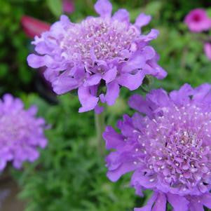 Scabiosa caucasica 'Butterfly Blue'-#1 Container<br />Butterfly Blue Pincushion Flower