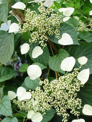 Schizophragma hydrangeoides 'Moonlight'-#2 Container<br />Moonlight False Climbing Hydrangea
