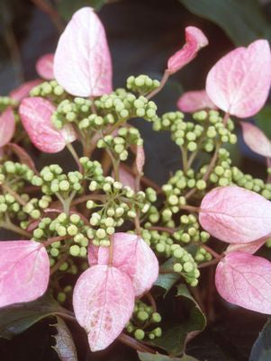 Schizophragma hydrangeoides 'Roseum'-#2 Container<br />Pink False Hydrangea