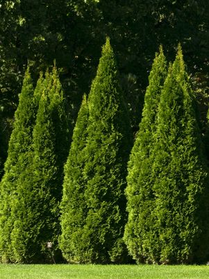 Thuja occidentalis 'Smargd' - Hedge Grade - 10 Gal.