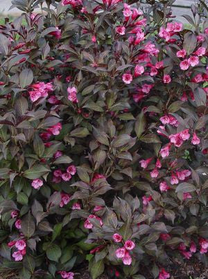 Weigela 'Wine & Roses'-#3 Container<br />Wine and Roses Weigela
