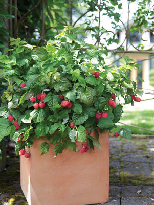 Rubus 'Raspberry Shortcake' -#2 Container<br />Raspberry Shortcake&#8482; Thornless Raspberry