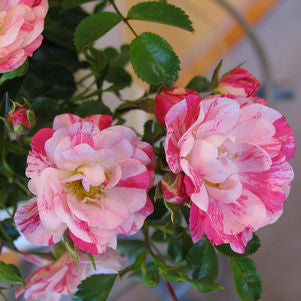 Rosa Flower Carpet 'Pink Splash'-8`` Container<br />Flower Carpet Pink Splash Rose