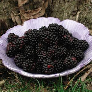 Rubus 'Chester'-#2 Container<br />Chester Blackberry