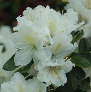 Rhododendron (Azalea) 'Delaware Valley White'-#5 Container<br />Delaware Valley White Azalea