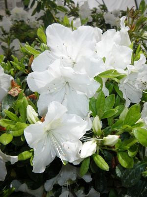 Rhododendron (Azalea) 'Girards Pleasant White'-#2 Container<br />Girards Pleasant White Azalea