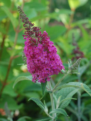 Buddleia X 'Miss Ruby'-#3 Container<br />Miss Ruby Butterfly Bush