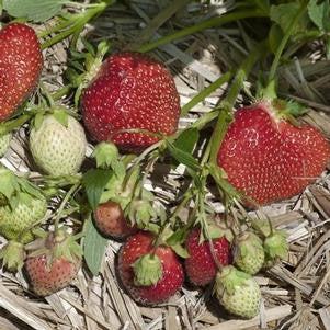 Strawberry 'Allstar'-#1 Container<br />All Star Strawberry