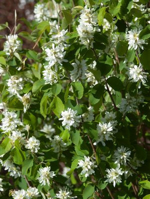 Amelanchier alnifolia 'Standing Ovation&#8482;' -#3 Container<br />Standing Ovation&#8482; Serviceberry