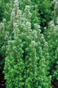 Chamaecyparis thyoides 'Top Point'-#2 Container<br />Top Point Dwarf White Cedar