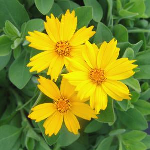 Coreopsis pubescens 'Sunshine Superman' - 1 Gal.