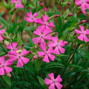 Silene caroliniana 'Short And Sweet'-#1 Container<br />Short and Sweet Catchfly