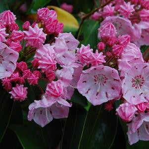 Kalmia latifolia 'Good Show'-#3 Container<br />Good Show Mountain Laurel