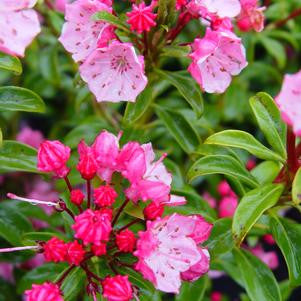 Kalmia latifolia 'Little Linda'-#3 Container<br />Little Linda Miniature Mountain Laurel