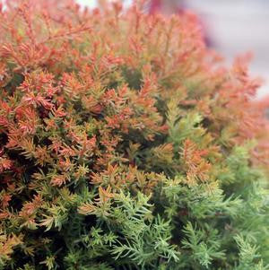 Thuja occidentalis 'Fire Chief' -#2 Container<br />Fire Chief&#8482; Globe Arborvitae