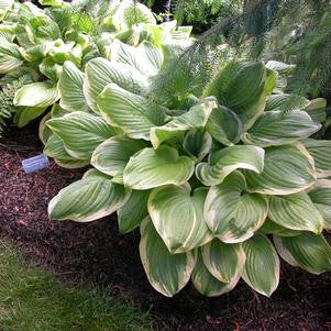 Hosta 'Fragrant Bouquet'-#1 Container<br />Fragrant Bouquet Hosta