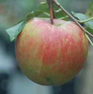 Malus X 'Royal Gala'-#7 Container<br />Royal Gala Apple