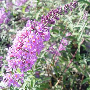 Buddleia davidii 'Nanho Blue'-#3 Container<br />Nanho Blue Butterfly Bush