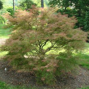 Acer palmatum 'Baldsmith'-#3 Container<br />Baldsmith Japanese Maple